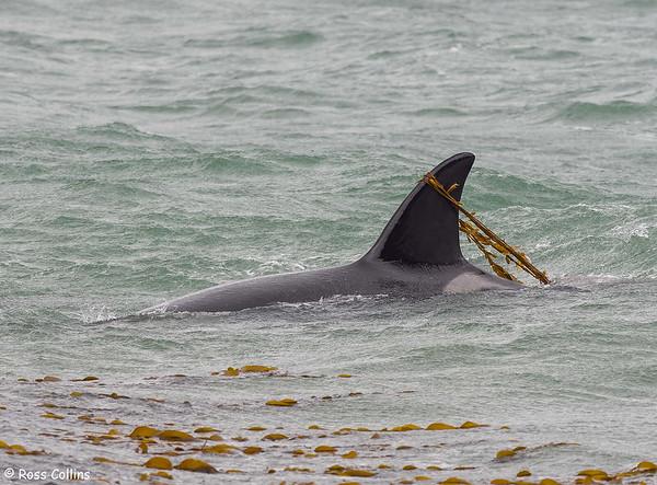 Orcas in Wellington Harbour 2021