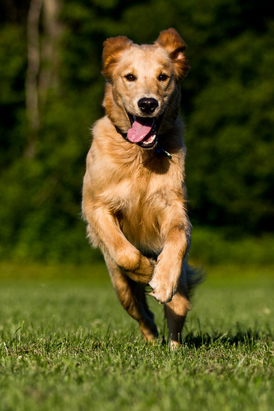 Golden Retriever Running on Field