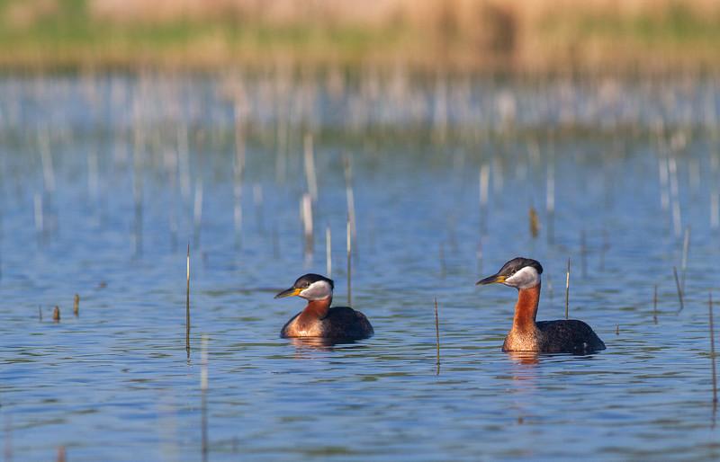Red-necked Grebe Lake Osakis Douglas County Stevens County MN IMG_0395.jpg