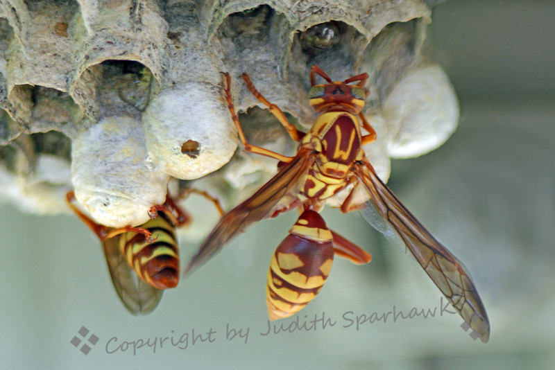 "Wasps at the Nest ~ I photographed these two wasps at the nest in my neighbor's patio.  I liked this view that shows the back of the wasp with a big ""W"" on its back.  It reminded me of the ""S"" on Superman's costume.  Maybe this is ""Waspman"" in disguise."