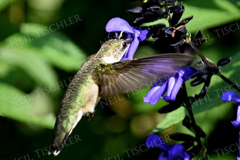 #1132  A ruby throated hummingbird feeds at a black-blue salvia blossom.