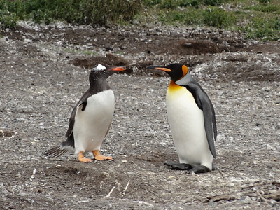 Patagonia -Ushuaia, Tierra del Fuego, Gable Island - Penguins, Argentina (2 or 5) Ines' photos