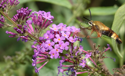 Butterflies & Moths (Lepidoptera)
