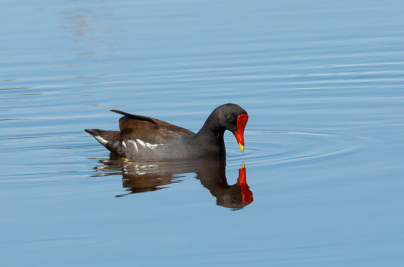 Common Moorhen reflecting...