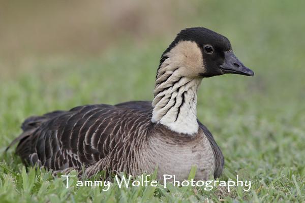 Goose, Nene