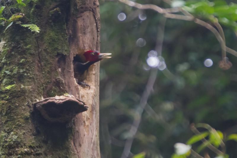 Pale-billed Woodpecker - Braullio Carillo NP, Costa Rica