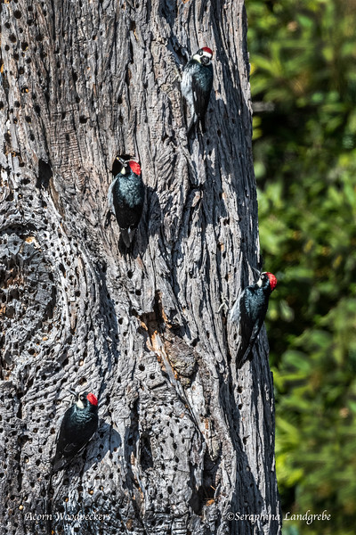 _DSC4172Acorn Woodpecker Tree B.jpg