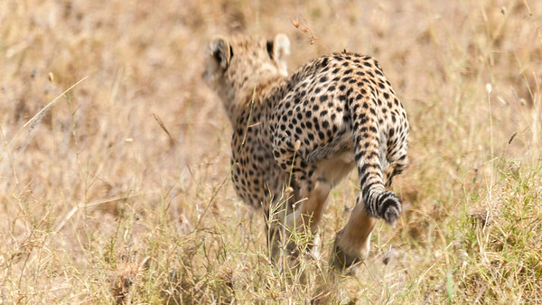 Cheetah kill sequence