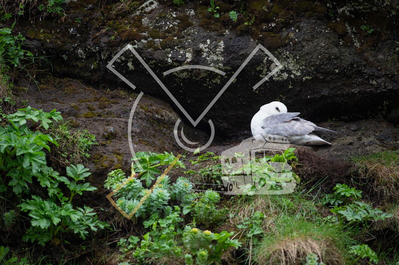 Nesting northern fulmar on a rock wall in Iceland