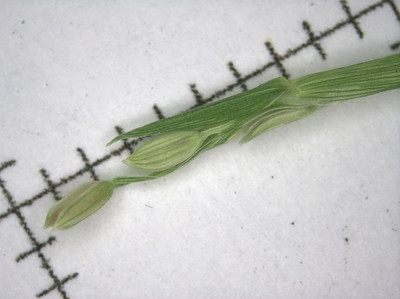 Grasses to ID, early 2011