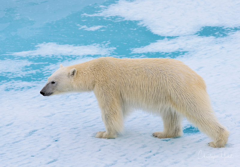 Polar Bear Stride.jpg