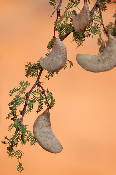 Camel Thorn seed pods