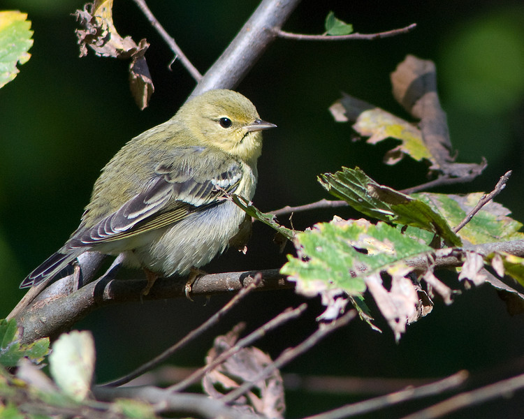 Pine Warbler