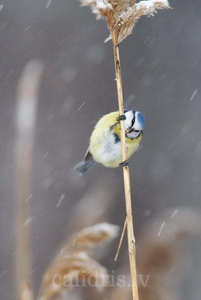 Blue Tit on a reed during snowfall