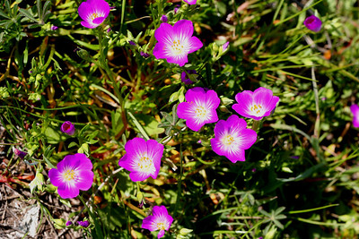 PLANTS: PORTULACACEAE (Purslane Family)