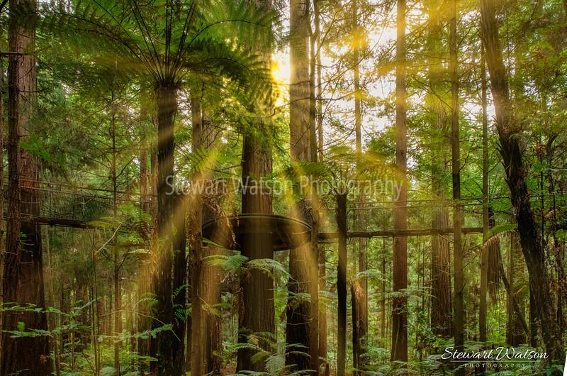 Redwoods magic