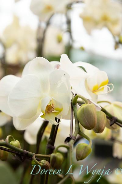 Phalaenopsis Blume white_5962.jpg