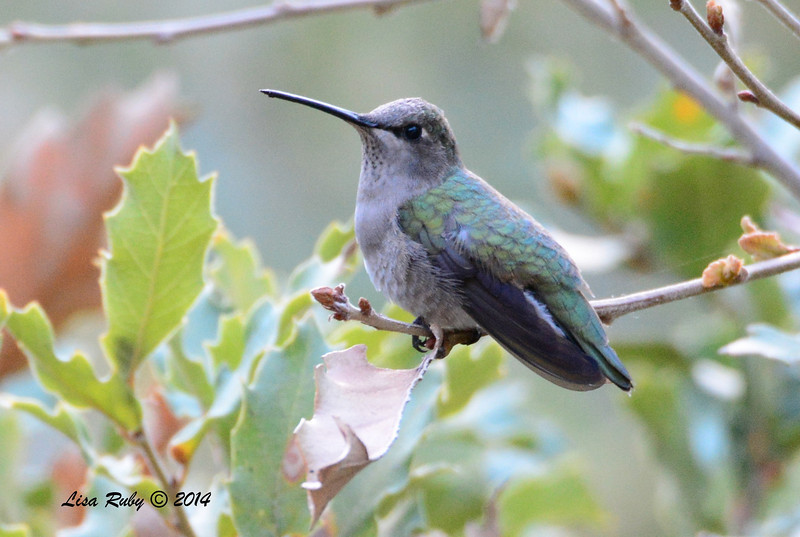 Female Black-chinned (I think) Hummingbird - 4/21/2014 - Beatty's Guest Ranch, Miracle Valley, Arizona