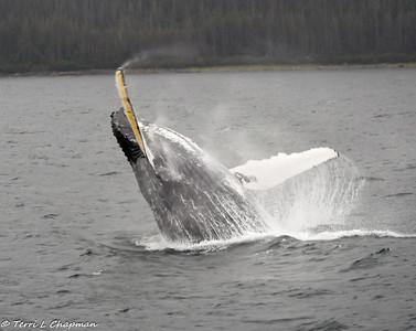 Humpback Whales of Juneau, Alaska