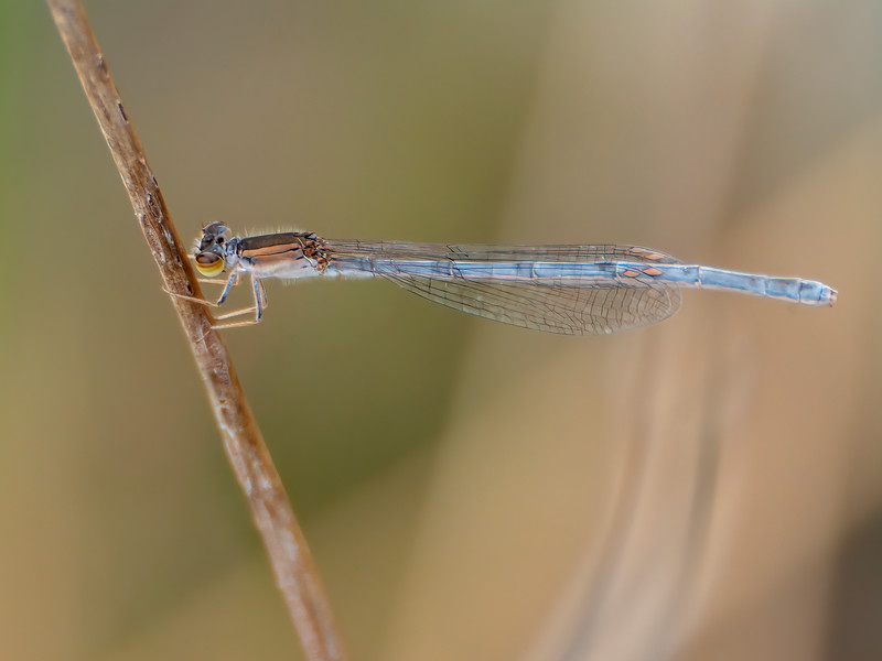 Female, Sedge Meadow at Summit Bridge Ponds, DE