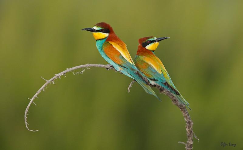 European Bee-eater 5.jpg