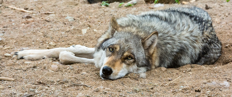 2016 Wolf Institute - Ely, MN-3.jpg