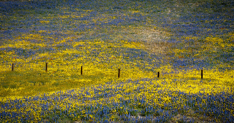 Wildflowers, Antelope Valley, California, 2003