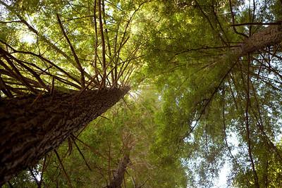 Redwoods 2012