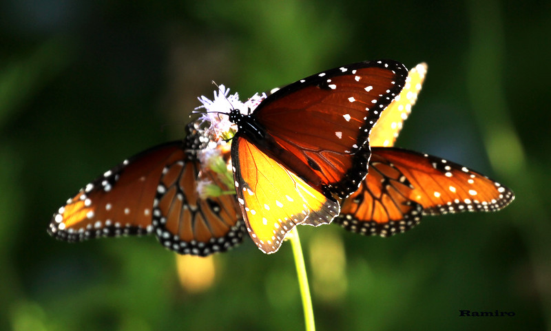Monarchs 6-6-15 183.jpg
