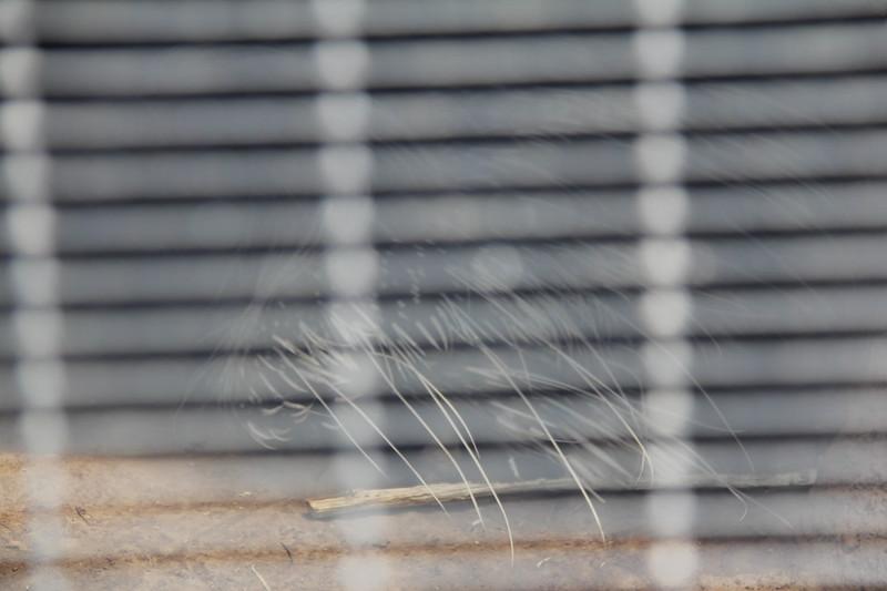 20170807-041 - San Diego Zoo - Porcupine.JPG