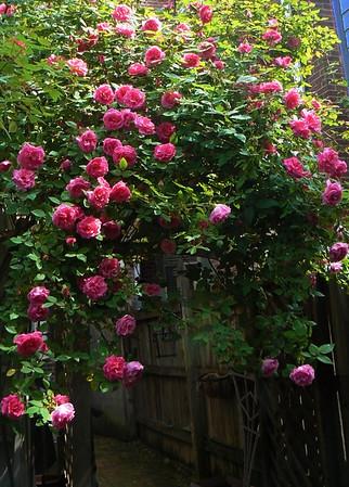 Rose Zephirine