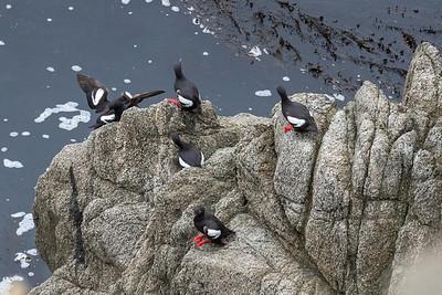 2021_6_26 Pigeon Guillemots at Bodega Head