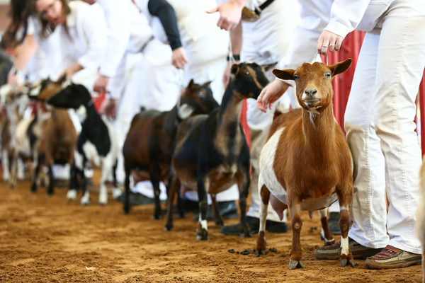 Southwestern Classic Dairy Goat Show