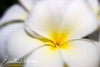 Frangipani Flower - Potential Entry for the Grand Finale of LPS