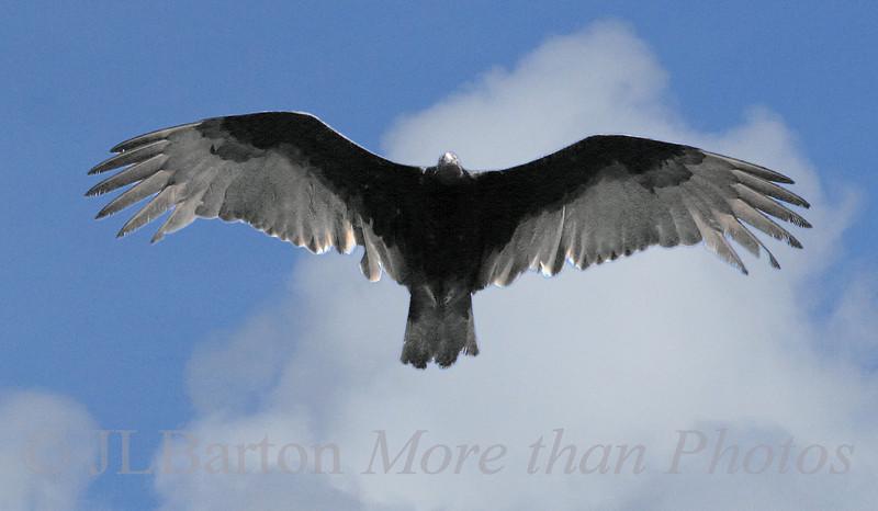 Soaring This Turkey buzzard was enjoying the thermals over Lemon Bay, Florida