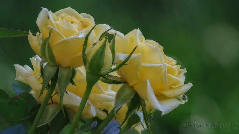 yellow rose 5589 to 5596.jpg