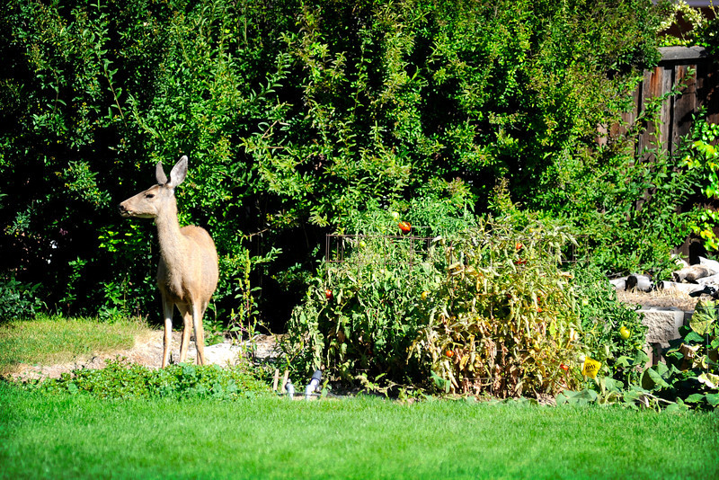 2011/9/20 – Midday I was packing to leave on our ATV trip when I noticed this deer in our neighbors back yard helping herself to some fresh grown vegetables. I was able to walk up to within 40 feet to get this shot.