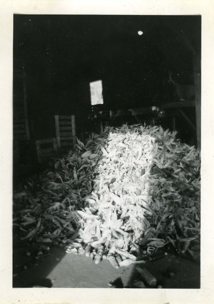 J196.  Seed corn ready for drier - 1937.jpg