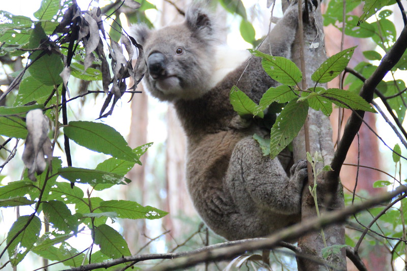 A gray koala bear clings to a tree trunk as it looks through the green leaves of the tree.