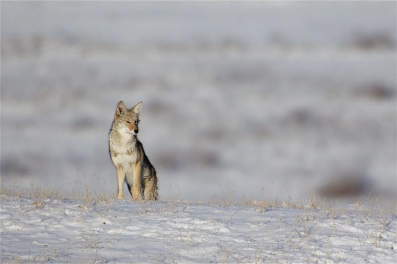 Coyote in winter prairie habitat