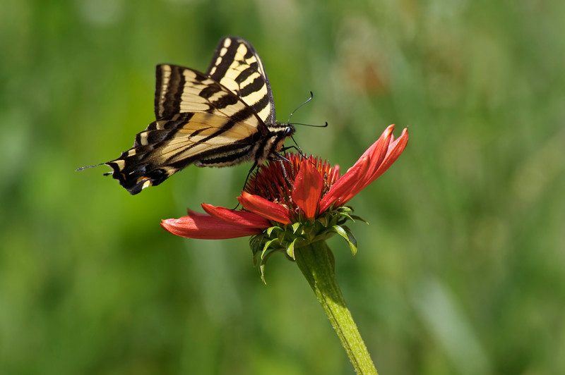 Western Tiger Swallowtail Butterfly, the flower is a Tikki Torch Cone Flower.