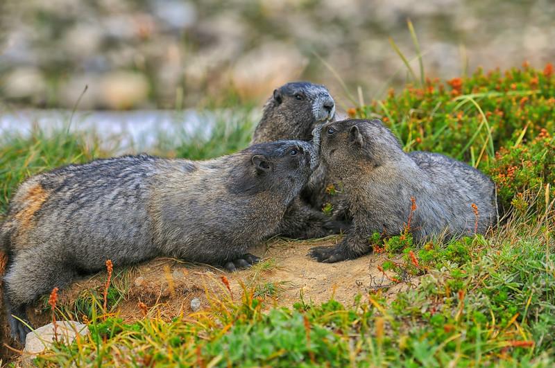 Marmot Meeting