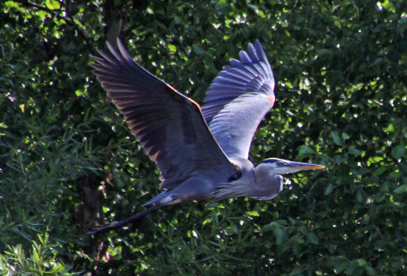 Great blue heron in flight 3