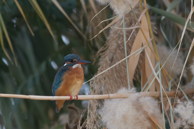 Common Kingfisher - Record shot - Aswan, Egypt