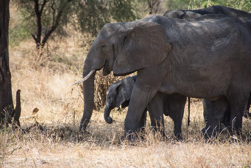 Tanzania Tarangire NP, elephant w babe-2.jpg