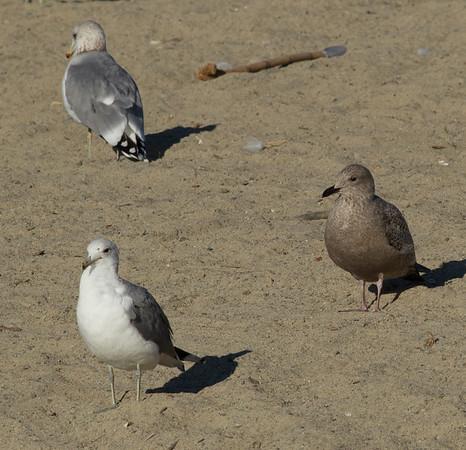 Iceland Gull Larus glaucoides