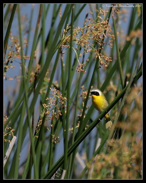 Common Yellowthroat habitat, San Joaquin Marsh, Orange County, Los Angeles, California, May 2010