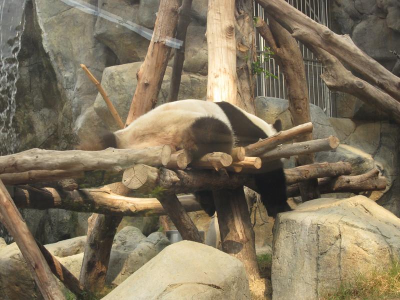 Lazy panda