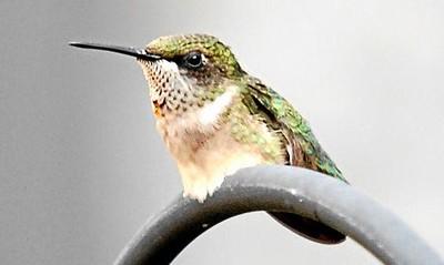 Humming_bird_033.jpg
