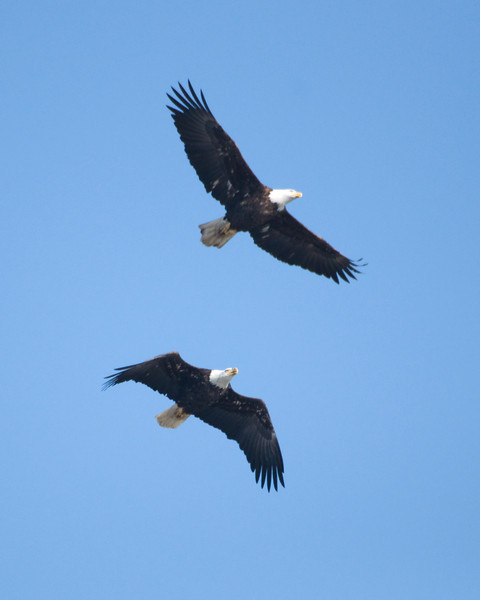 Bald Eagles in Flight 2668